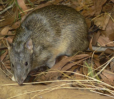 Northern Brown Bandicoot
