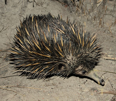 Echidna in dirt