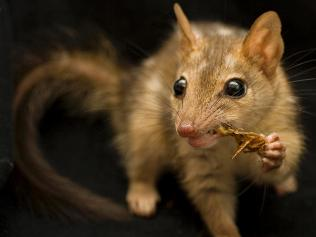 Food source for the quoll