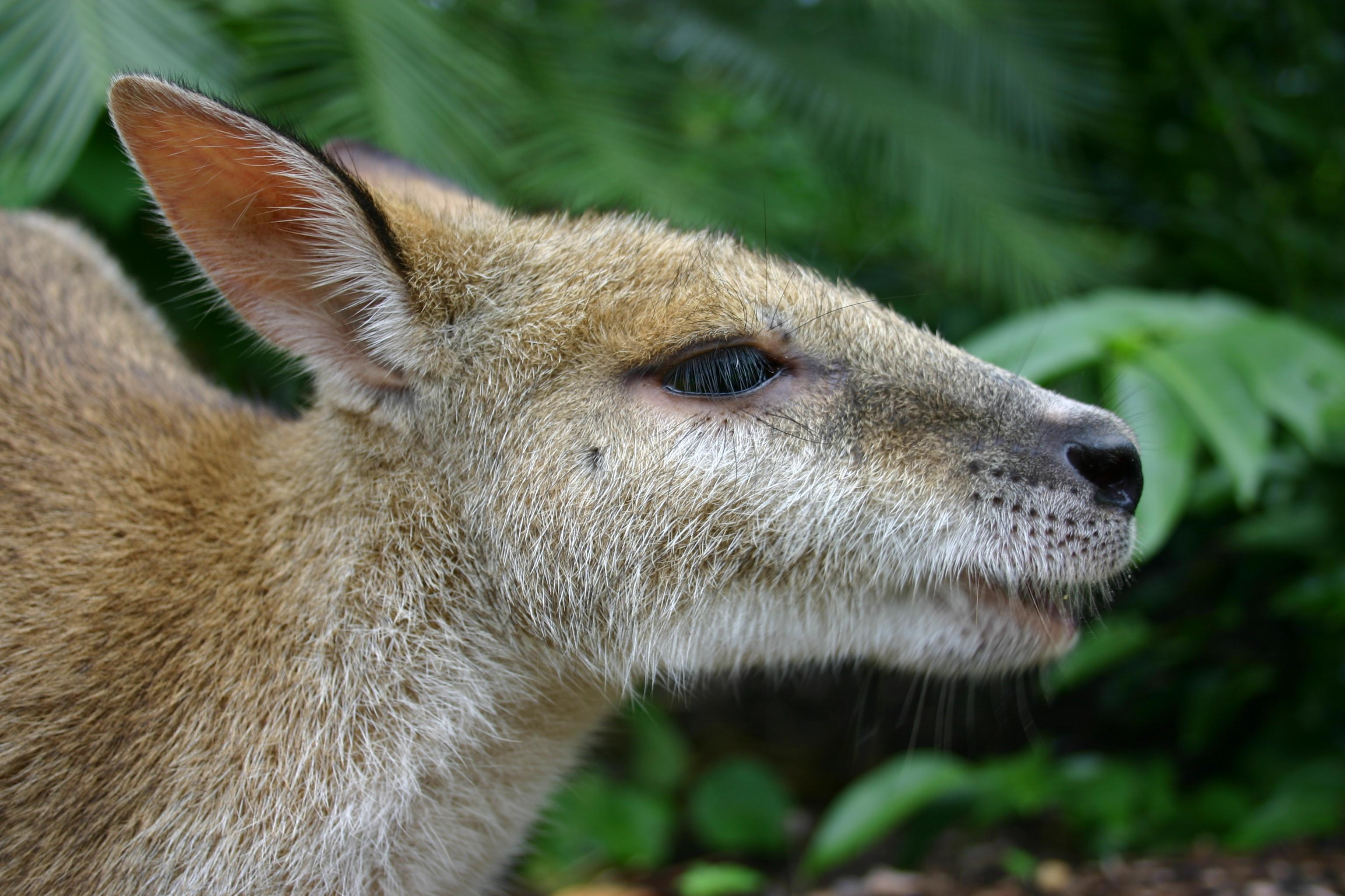 Agile wallaby close up