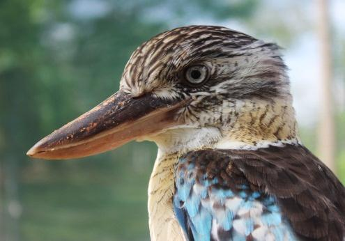 Blue winged Kookaburra closeup