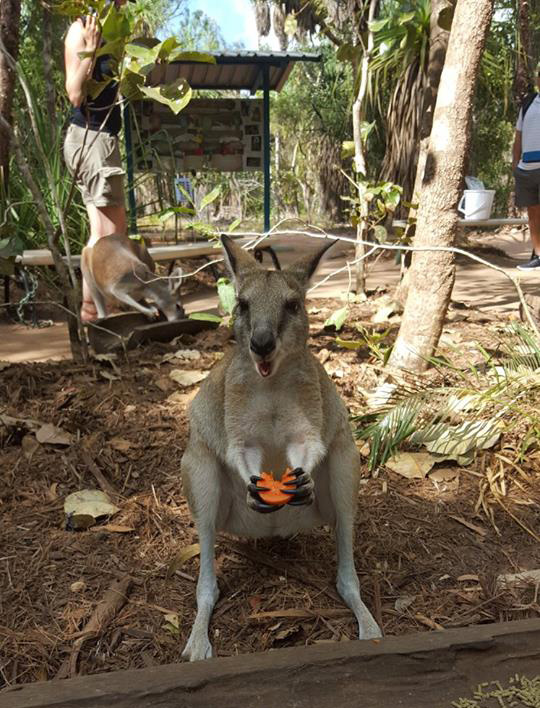 Wallaby feeding