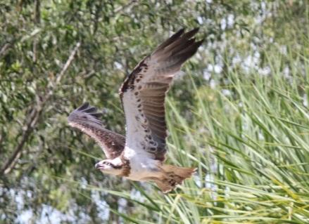 Osprey mid flight