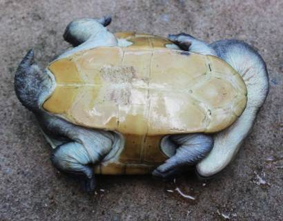 Underside of the Long Neck Turtle