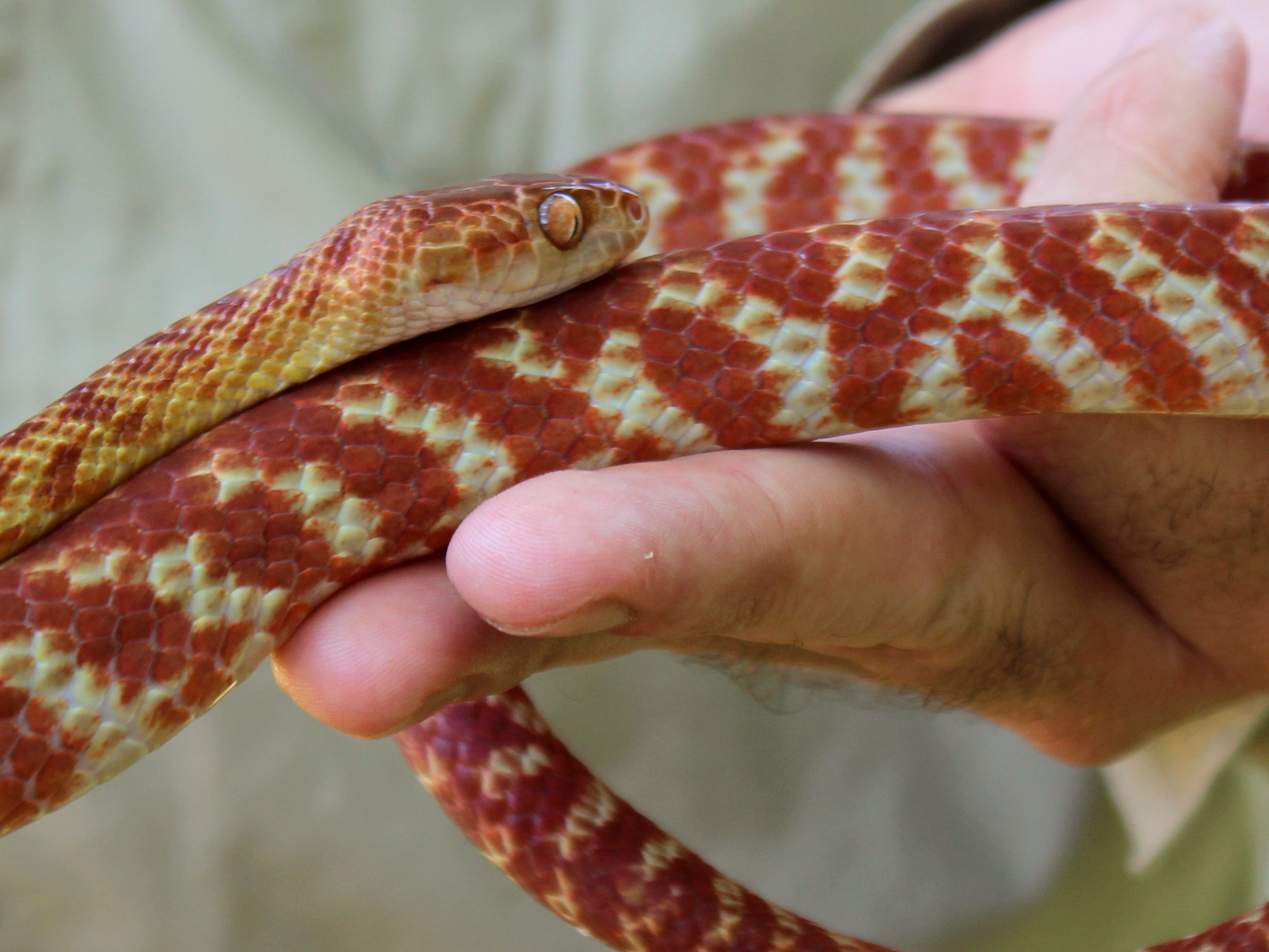 Brown Tree Snake in hand
