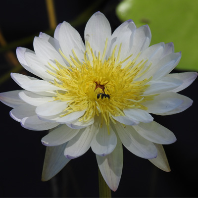 A water lily with white petals and yellow centre