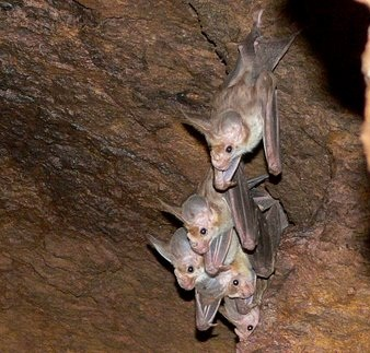 Bats hanging from a cave